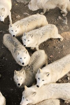 Photograph White wolves by Veronika Rojová on 500px #wolves #wildlife #photography #white
