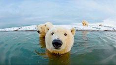 F&O FABFORGOTTENNOBILITY #bear #polar #animals