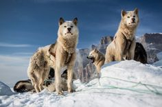 Greenland 8 #photography #dogs #greenland
