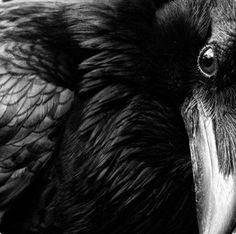raven #photography #raven