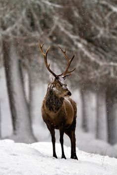 Schedvin #christmas #deer #snow