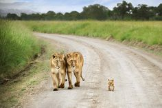 Masai Mara, Kenya TPOTY David Lazar #cub #lion #africa #big #cat #parents #photography #lioness #cute #animal #beauty