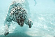 Swimming #white tiger