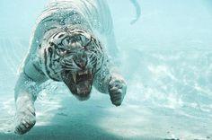 Swimming #white tiger