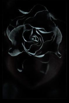 All sizes | roses and roses | Flickr - Photo Sharing! #flower #rose #photography #black