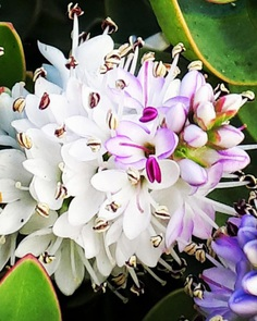 Hebe Flower Picture