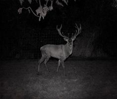 patrick hogan_solitary half mad_deer.jpg (580×491) #patrick #ireland #photography #hogan