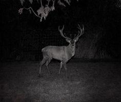 patrick hogan_solitary half mad_deer.jpg (580×491)
