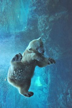 polar bear - hey perfect #polar #bubbles #carnivore #floating #photography #blue #bear #animal