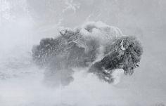 Behance :: Editing Digital Illustrations #cloud #sky #digital #illustration #nature #buffalo #chimera