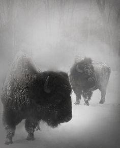 roll out. #bison #photo #power #snow #photography #nature #european #storm #animals #winter