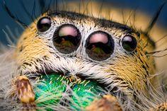 Macro Photography Phidippus Mystaceus Spider #macro photography #spider photography