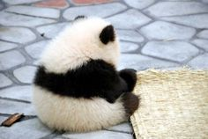 tumblr_lh01wiDWAe1qa2ozwo1_500.jpg (500×335) #panda #cub