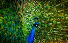 Peacock With Beautiful Feathers (click to view)