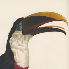 Toucan #19th #coloured #book #south #bird #hand #illustration #ornithology #century #america #beak #toucan