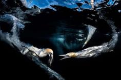 Gannets Feeding by Greg Lecoeur