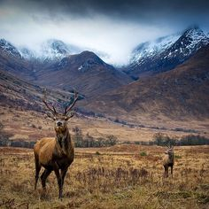 Oh, Pioneer! #deer #field #outdoors #snow #landscape #stag #mountains