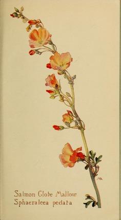 Sphaeralcea_pedata_by_Margaret_Neilson_Armstrong.jpg (1763×3200)