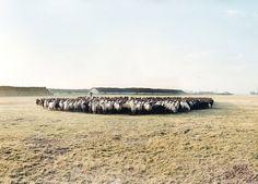 Monika Höfler - Photographer: Portfolio #sheep #photography #farm