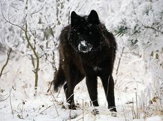 10 Incredible Melanistic (All Black) Animals #wolf #melanistic #black