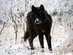 10 Incredible Melanistic (All Black) Animals #wolf #melanistic #black