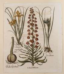 "Basilius Besler, the sheet from ""Hortus Eystettensis"""