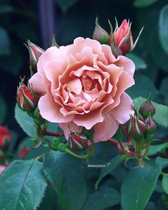 Beautiful Pictures of Roses by Kimi Sasa