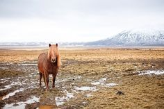 KRISATOMIC #photography #horse #iceland