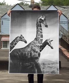 Giraffes Poster by debbiecarlos on Etsy #photography #giraffes #poster
