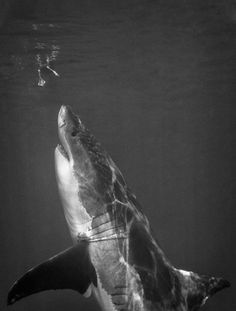 "this isn't happinessâ""¢ (Every week), Peteski #white #shark #photography #deep #great"