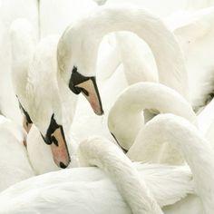 Sara Lindholm - juliaelise: swans hugging #swan