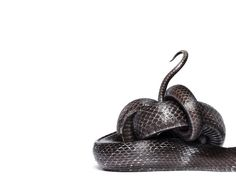 Main #scales #tail #black #snake