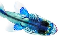 adam summers dyes fish specimens to reveal their anatomy #fish #vertebra