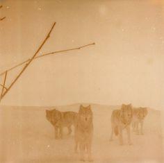 A5.jpg 670×669 píxeles #iglesias #wolves #polaroid #landscape #photography #assaf