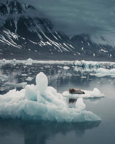 ~ Bearded seal resting in a glacier lagoon. Northern Svalbard. by @kpunkka