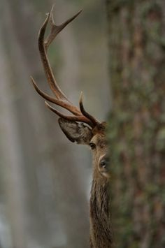 this isn't happiness™ (Stiknord) #stag #forest #photography #deer