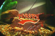 Chris van Niekerk #lobster #fish #tank