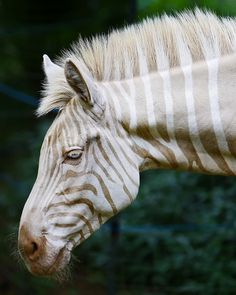 A Zebra Of A Different Color | Flickr - Photo Sharing! #zebra #photograph