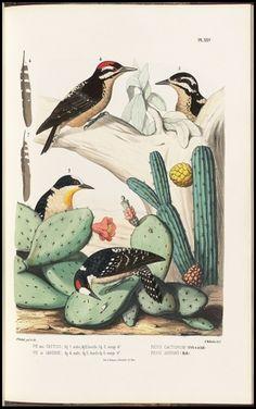 All sizes | Picus cactorum + jardinii | Flickr - Photo Sharing! #birds #illustration #book