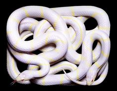 but does it float #snakes #white