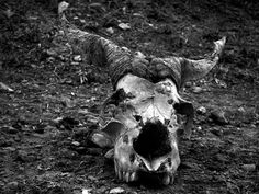 Silence Without: Tibetan Goat Skull; roadside between Tingri and Rongbuk #white #photo #black #goat #and #skull