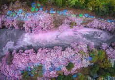 Danilo Dungo Captures Beautiful Cherry Blossoms From Above