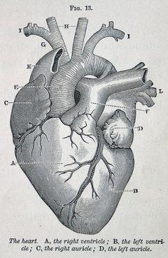 btwww #illustration #vintage #heart #diagram #medical #engrave