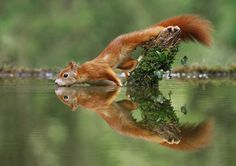 Julian Rad Captures Fabulous Photos of the European Red Squirrel