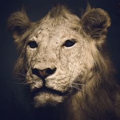 Chad Wys, Artist #lion #photography