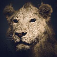Chad Wys, Artist #lion #photography