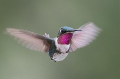 #hummingbird: Magnificent Birds Photography by Elijah Gildea