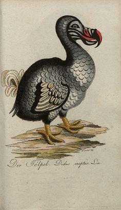 Dodo, by Johann Bechstein #save #johann #bechstein #ilustracin #bird #illustration #dodo #vintage