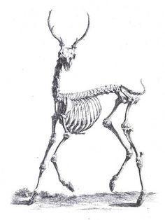 Animal - Deer #deer #anatomy #vintage