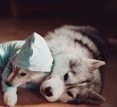 Adorable Huskies Photo with Human Clothes by Erica Tcogoeva